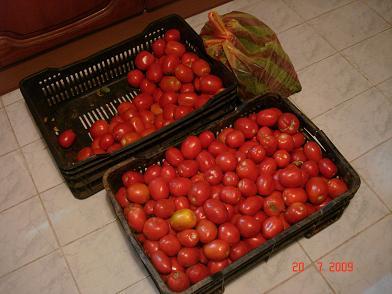 الكمية الأولى من الطماطم