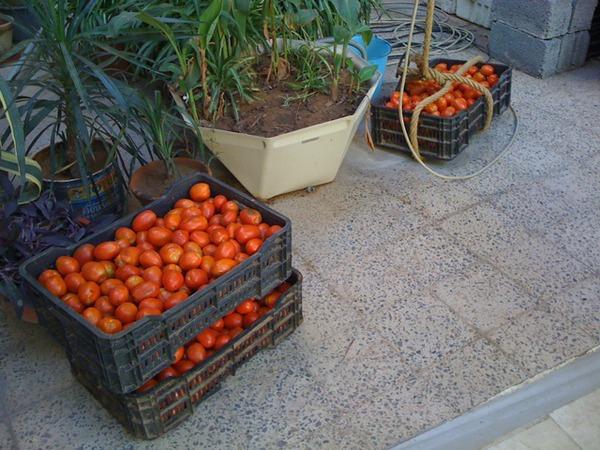 60 كيلو طماطم!