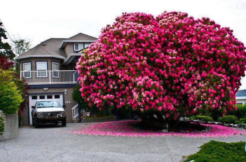 شجرة رودودندرون